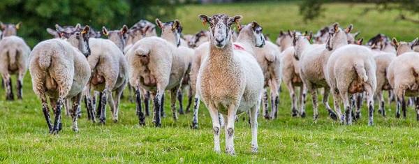 I sapori del Galles nelle carni biologiche del Rhug Estate